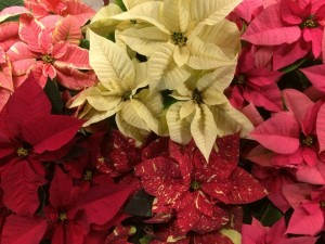 Holiday Poinsettias – Coming Soon!