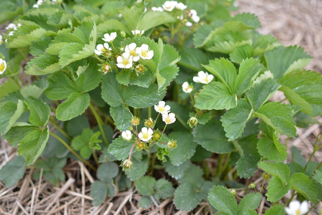 Strawberry Blooms