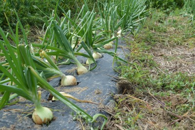 Homegrown Sweet Candy Onions