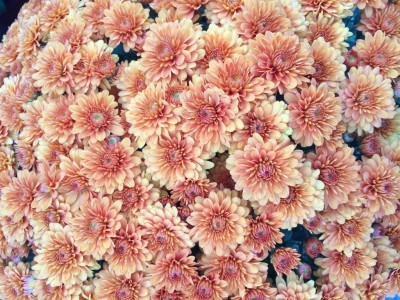 Fall Chrysanthemums now available!