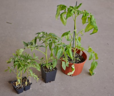 Vegetable plants now available!